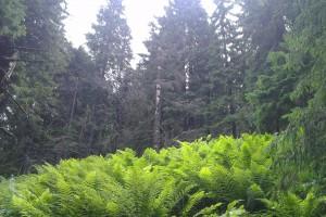 Papradie v typickej smrekovej hore