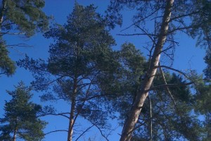 Upevnenie úväzku bližšie ku korune znamená väčšiu istotu smeru pádu spiľovaného stromu