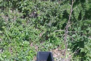 Prvé rojenie lykožrúta smrekového